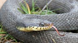 Σπάνια περίπτωση παρθενογένεσης: Θηλυκό φίδι αναπαρήχθη μόνο