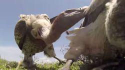 Από τα μάτια του...νεκρού: Βίντεο από πτώμα ζώου που γίνεται βορά