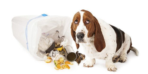 Basset Hound dog looking up with a guilty expression while sitting next to a tipped over garbage