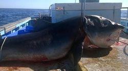 Καρχαρίας - τέρας πιάστηκε στα δίχτυα ενός ψαρά και προκαλεί