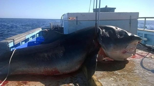Ο καρχαρίας - τέρας που έπιασε στα δίχτυα του ένας