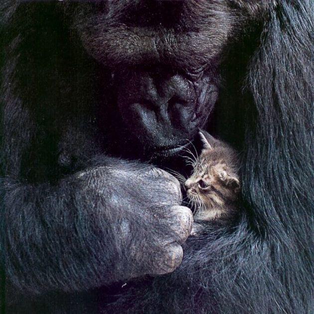 Οι γορίλες αποδεικνύουν πως μπορούν να μάθουν να μιλάνε και η Koko βρίσκεται ήδη σε καλό
