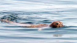 Η μεσογειακή φώκια «Monachus monachus», είδος υπό εξαφάνιση, εμφανίστηκε σε παραλίες της