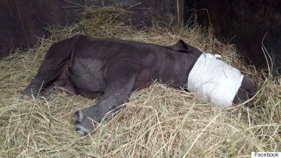 Ένας ορφανός ρινόκερος αναζητεί τη μαμά του σε...διερχόμενα