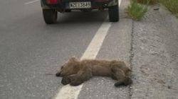 Νεκρό αρκουδάκι και πάλι από τροχαίο στην Εγνατία