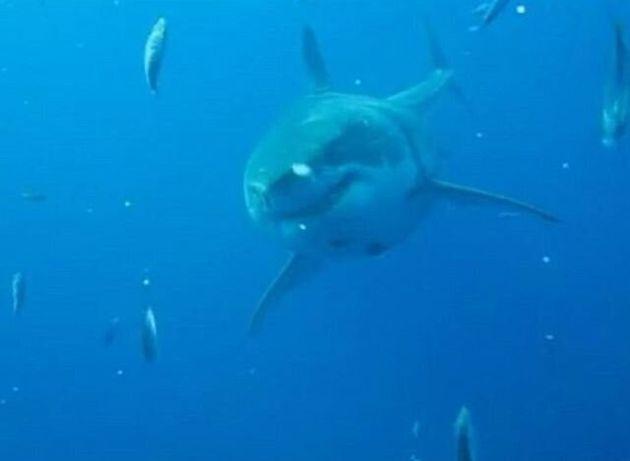 Είναι αυτός ο μεγαλύτερος λευκός καρχαρίας που έχει
