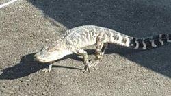 Ένας αλιγάτορας στο Μανχάταν:Ο ξάδελφος του...Σήφη στην