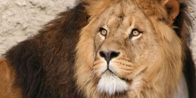 Κυνηγός σκότωσε, έγδαρε και αποκεφάλισε τoν Σεσίλ, το εμβληματικό λιοντάρι της