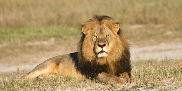 In this undated photo provided by the Wildlife Conservation Research Unit, Cecil the lion rests in Hwange...