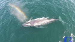 Η φάλαινα που δημιουργεί ουράνια τόξα ζει ανάμεσά μας και είναι σκέτη