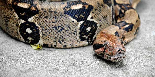'Eva', a more than two meters long boa constrictor, protects some of its thirty-one offsprings, three...