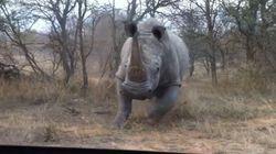 Βίντεο: Ρινόκερος επιτίθεται σε τζιπ με