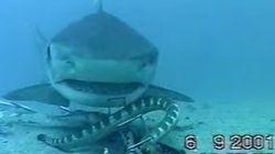 Φίδι τα βάζει με καρχαρία στο βυθό της