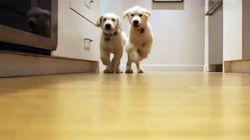 Timelapse βίντεο: Δύο κουτάβια τρέχουν προς το φαγητό τους (11 εβδομάδων έως 11