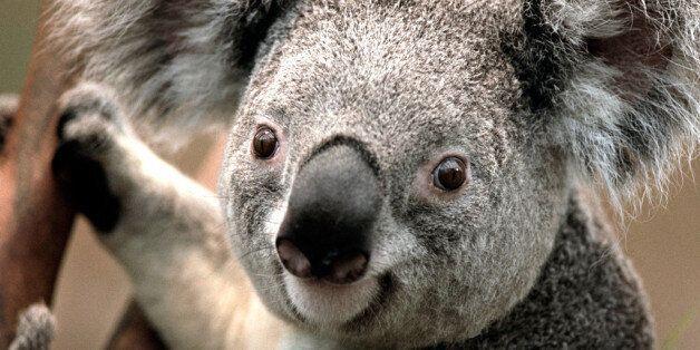 Un koala visto en los alrededores de la