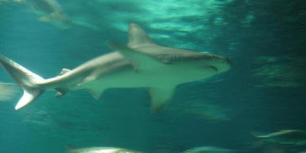 Ψάρεψε καρχαρία 5 μέτρων στα δίχτυα του στα