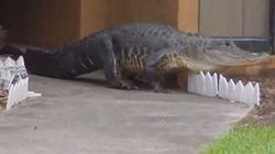 Αλιγάτορας σκόρπισε τον τρόμο σε γειτονία του