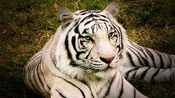 Γεωργία: Και δεύτερη τίγρη κυκλοφορεί ελεύθερη και σκορπά τον
