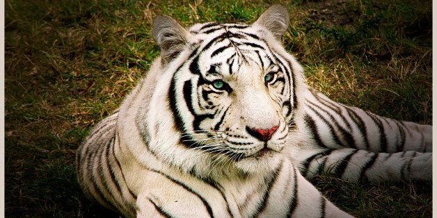 A white tiger is a tiger with a recessive gene that creates the pale coloration. Another genetic characteristic...