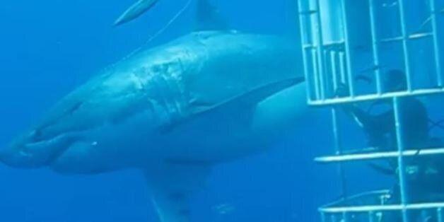 Τρόμος από τον βυθό: Δείτε τον μεγαλύτερο λευκό καρχαρία στον