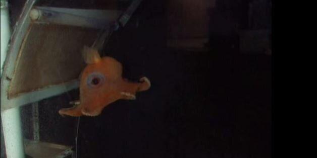 Opisthotheusis Adorabilis: Το μικρό χταπόδι βρήκε τελικά το όνομα που του