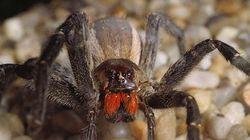 Αγγλία: Σε «καραντίνα» μπήκε σπίτι στην Αγγλία μετά την εξεύρεση αβγών αράχνης σε σακούλα με