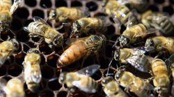 Με πρωτοφανή ρυθμό μειώνεται ο αριθμός των μελισσών