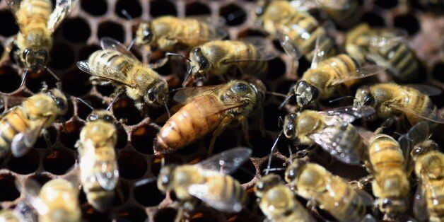 A queen bee (C) is surrounded by bees in a hive at the Luxembourg Gardens' beekeeping school on April...