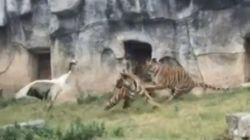 Γερανός τα βάζει με τρεις τίγρεις και