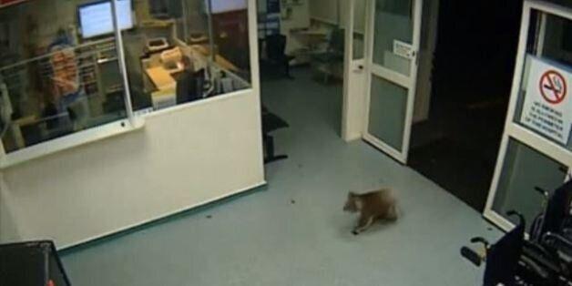 Κοάλα εξερευνά ανενόχλητο τα επείγοντα νοσοκομείου στην