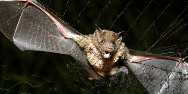 A vampire bat is caught in a net in Aracy, in the northeast Amazon state of Para, Brazil, on Thursday,...