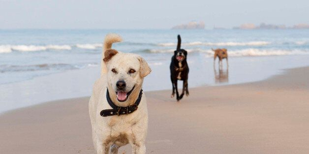 The dogs on Hikkaduwa beach. The white guy, Hikkaduwa Ford, is a bit of a local legend. He is well known...