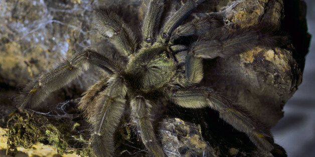 In this photo taken Friday, Oct. 4, 2013, A Encyocratella olivace tarantula is one of the 50 tarantulas...