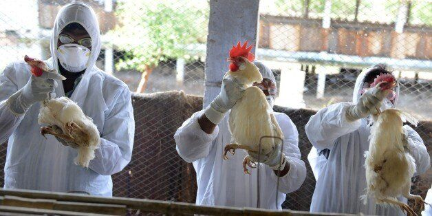 Indian health workers wring the necks of chickens during a culling operation at Venkateshwara Hatcheries...