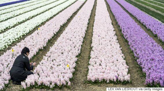 Απίστευτα πλάνα από drone: Οι πολύχρωμες καλλιέργειες λουλουδιών στην