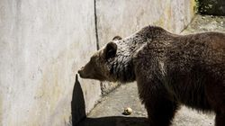 Σε καταφύγια του Αρκτούρου θα μεταφερθούν οι λύκοι και οι αρκούδες του ζωολογικού κήπου