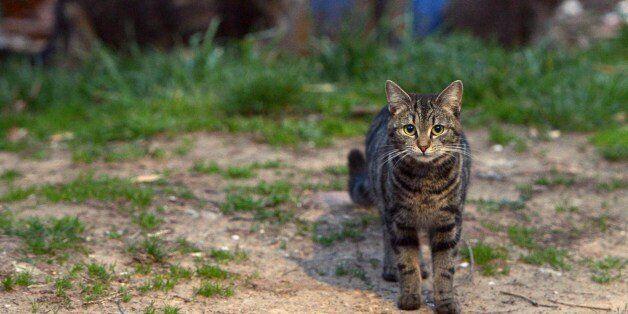 Feral cats running loose in a northeast Washington, DC neighborhood on April 4, 2014. The Washington...