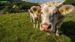 Αγελάδα στην Κένυα σκοτώνει πρόβατα και τρέφεται με το κρέας