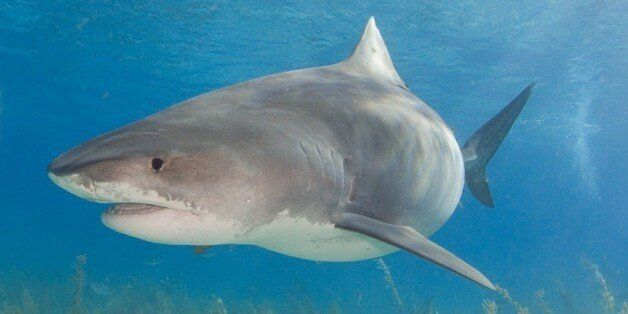 The biggest, and gentlest, tiger shark we saw at Tiger
