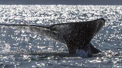 Φάλαινα σπάει το ρεκόρ μετανάστευσης θηλαστικών ταξιδεύοντας από τη Ρωσία στο