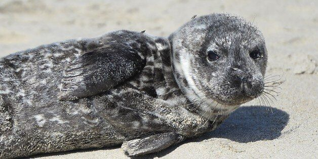 A distressed harbor seal pup lays stranded in the sand in Laguna Beach, California, March 30, 2015. The...