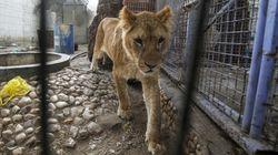 Le zoo de Gaza, qui gardait des animaux dans des conditions scandaleuses, a déjà