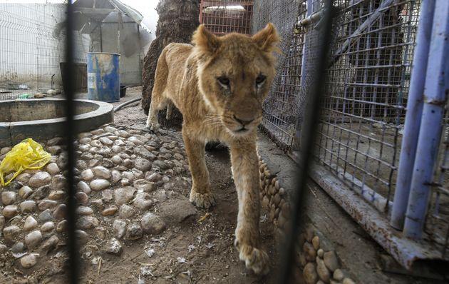 Une lionne du zoo de