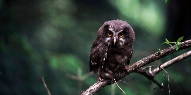 UNSPECIFIED - MARCH 03: Great horned owl or Tiger owl (Bubo virginianus), Strigidae. (Photo by DeAgostini/Getty