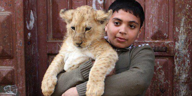 RAFAH, GAZA - MARCH 19: A kid holds a lion cub outside the home of Gazan man, Sadettin al Jamal (R),...