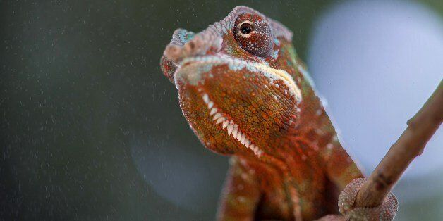 A baby chameleon sits in its enclosure at the Planet of Crocodiles in Civaux near Poitiers, western France,...
