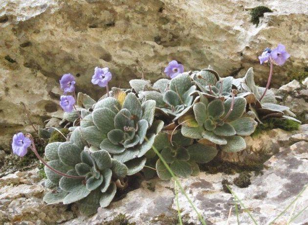Ο θησαυρός του Ολύμπου. Το μοναδικό μοβ λουλούδι που δεν φύεται πουθενά αλλού στον