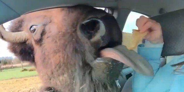 Πεινασμένος βούβαλος εισβάλει σε αυτοκίνητο
