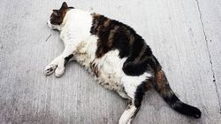 Famous Sydney Cat 'Abercrombie Charlie' Stolen By Uber