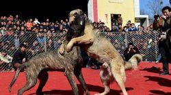 Οι αγώνες της ντροπής στην Κίνα: Έβαλαν σκύλους να μονομαχούν μέχρι